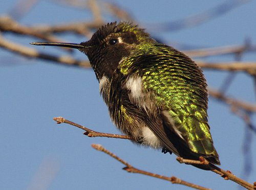 Annas Hummingbird - Calypte anna - Turlock CA 12-09-06_002C.jpg