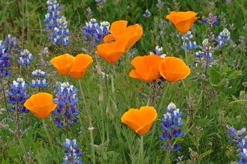 Annual Lupine and California Poppy - Avanela Wildflower Area CA 4-3-10_251.jpg