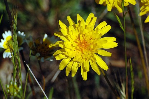 Annual Mountain Dandelion - Agoseris heterophylla - Bagby CA 4-1-11_083.jpg