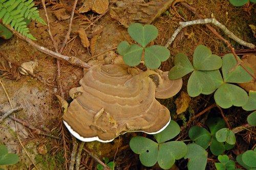 Artists Conk - Ganoderma applanatum - Redwood NP CA 1 9-10-09_211.jpg