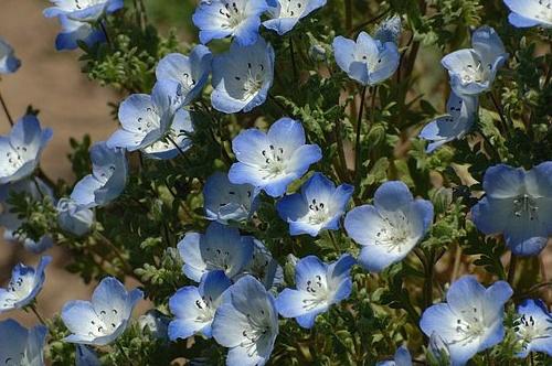 Baby Blue Eyes (Nemophila menziesii) Hwy 41 4-19-09_032 (2).jpg