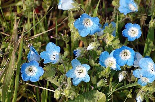 Baby Blue Eyes - Nemophila menziesii menziesii - Carrizo Plain CA 4-17-10_140.jpg