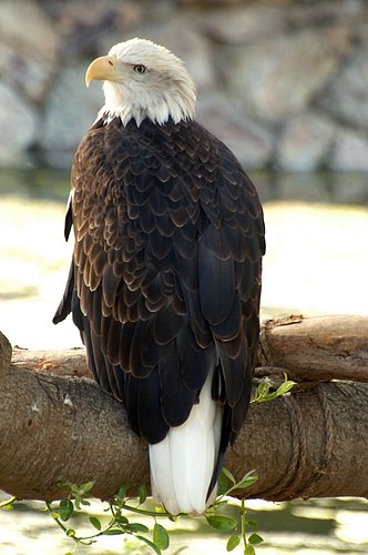 Bald Eagle - Haliaeetus leucocephalus - San Francisco CA 10-8-09_281.jpg