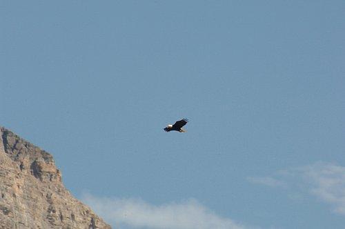 Bald Eagle - Haliaeetus luecocephalus - Glacier NP 7-18-08 1_225.jpg