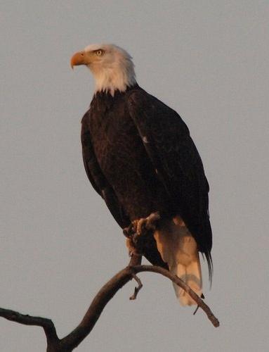 Bald Eagle at sunrise - Haliaeetus leucocephalus - Yellowstone NP 9-10-06_016.jpg
