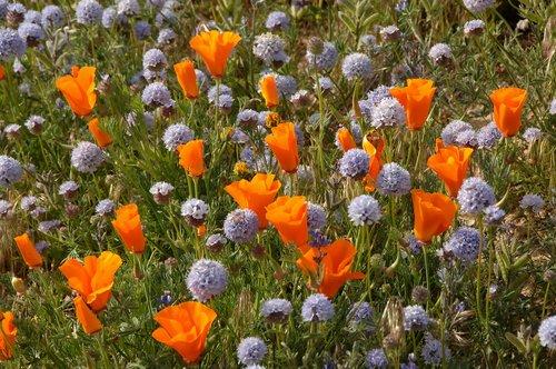 Ball Gilia and California Poppies - Gorman CA 4-17-10_159.jpg