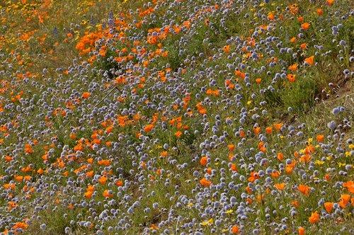 Ball Gilia and California Poppies in a wild garden - Gorman CA 4-17-10_179.jpg