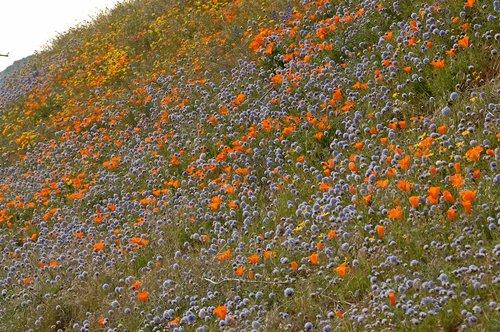 Ball Gilia and California Poppies in a wild garden - Gorman CA 4-17-10_185.jpg