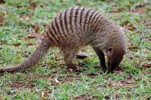 Banded Mongoose - Mungos mungo - Amboseli NP Kenya 10-10-07 2_154.jpg