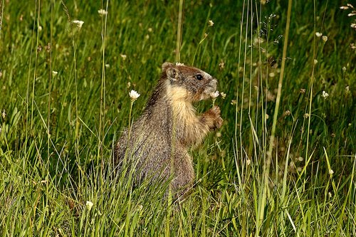 Beldings ground squirrel - Urocitellus beldingi - Tuolumne Meadows CA 8-7-10_209.jpg