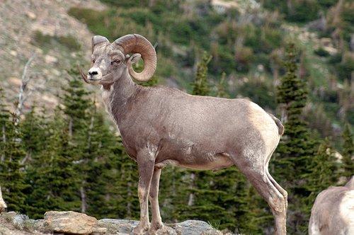 Big Horn Sheep - Ovis canadensis - Glacier NP 7-15-08_265.jpg
