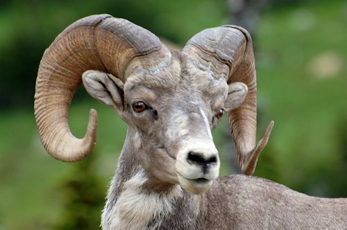 Big Horn Sheep - Ovis canadensis - Glacier NP 7-15-08_279.jpg