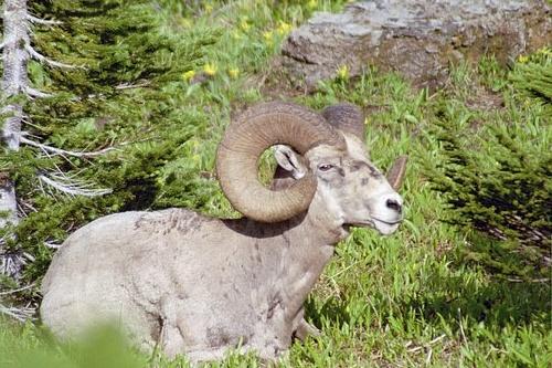 Big Horn Sheep - Ovis canadensis - Glacier NP V2004H_084.jpg