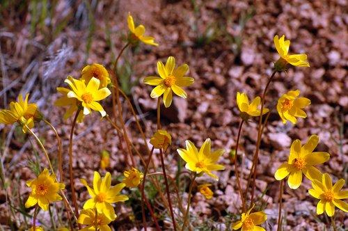 Bigelow Coreopsis - Leptosyne bigelovii - Frasier Park CA 4-17-10_162.jpg