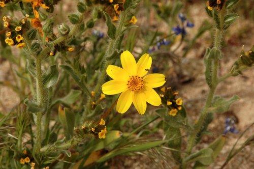 Bigelow Coreopsis - Leptosyne bigelovii - Gorman CA 4-17-10_016.jpg