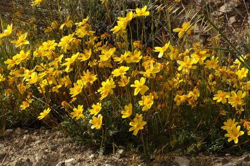 Bigelow Coreopsis - Leptosyne bigelovii - Gorman CA 4-17-10_229.jpg
