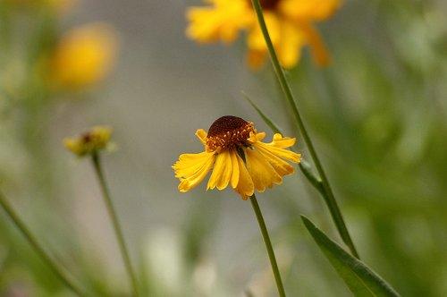 Bigelows Sneezeweed - Helenium bigelovii - Sequoia NP CA 8-29 8-30 8-31-10_019.jpg