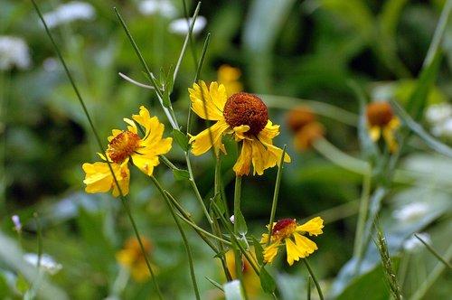 Bigelows Sneezeweed - Helenium bigelovii - Sequoia NP CA 8-29 8-30 8-31-10_234.jpg