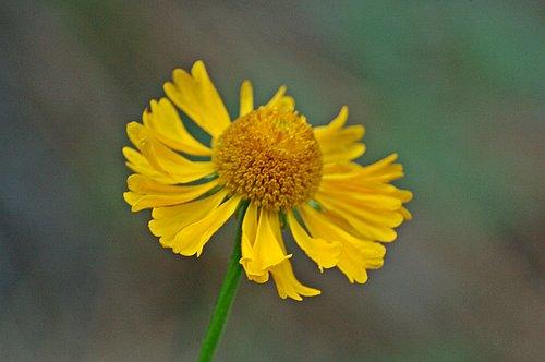 Bigelows sneezeweed - Helenium bigelovii - Dardenelles CA 8-8-09_006.jpg