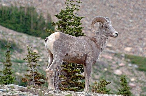 Bighorn Sheep - Ovis Canadensis - Glacier NP Montana 7-15-08_249.jpg