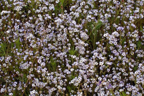 Birds eyes - Gilia tricolor - Railroad Flat CA 4-10  4-11-10_082.jpg