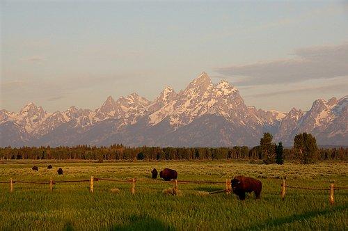 Bison (Bison bison) and the Teton Range - Grand Teton NP 7-07 7-05-08_170.jpg
