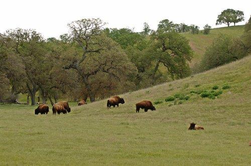 Bison - Bison bison - San Luis Obispo CA 4-8-11 4-10-11_107.jpg