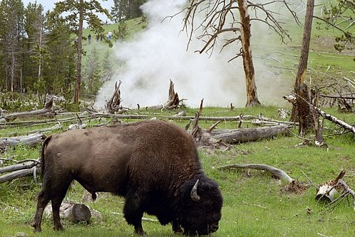 Bison At Geyser - Bison bison - Yellowstone NP 2004R17_020-1.jpg