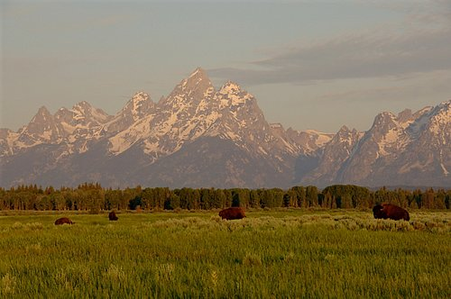 Bison and the Teton Range - Grand Teton NP 7-07 7-05-08_182.jpg