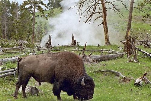 Bison at hot spring - Bison bison - Yellowstone NP V2004R15_009.jpg