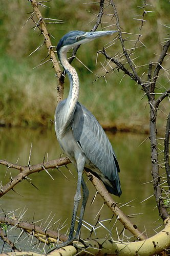 Black Headed Heron - Ardea melanocephala - Serengeti National Park - Tanzania 10-14-07 1_439.jpg