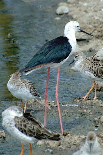 Black Winged Stilt - Himantopus himantopus - Serengeti NP 10-14-07 1_426.jpg