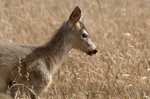 Black tailed Deer - Odocoileus hemionus - Humbolt Bay CA 9-7-09_051.jpg