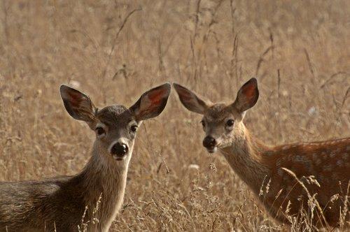 Black tailed Deer - Odocoileus hemionus - Humbolt Bay CA 9-7-09_055.jpg
