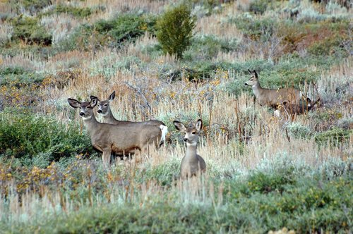 Black tailed Deer - Odocoileus hemionus - June Lake CA 10-22-11_029.jpg