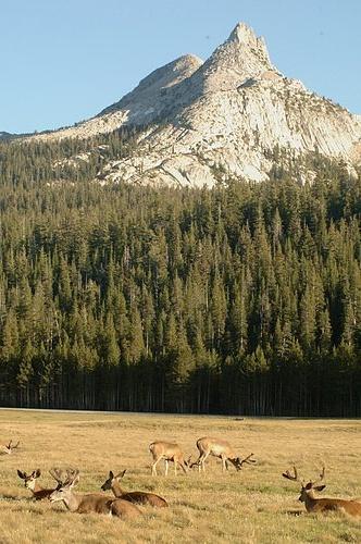 Black tailed Deer - Odocoileus hemionus - Yosemite NP 7-04-07_291.jpg