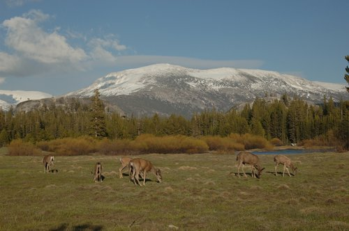 Blacktailed Deer and Mt Dana - Yosemite NP 5-31-08 3_155.jpg