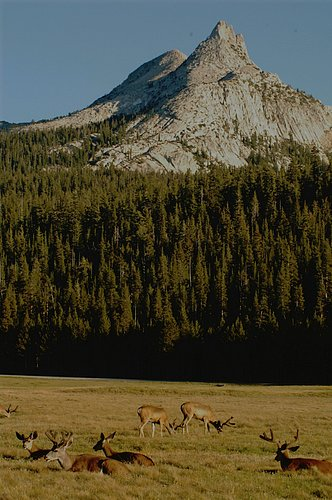 Blacktailed Deer in Tuolumne Meadows 704-07_291 (2).jpg