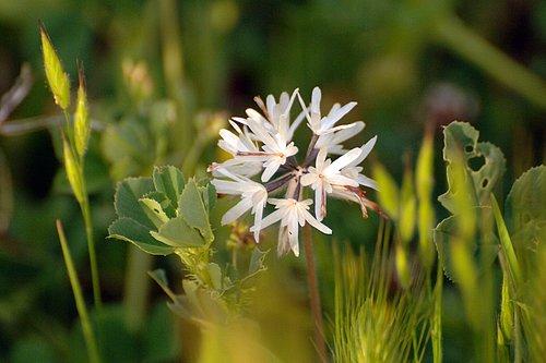Blow Wives - Achyrachaena mollis - Mount Hamilton CA 4-2-10_009.jpg