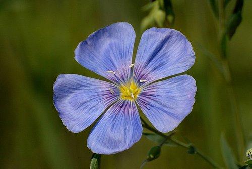 Blue Flax (Linum lewisii) Grand Teton NP 7-08-08_055.jpg