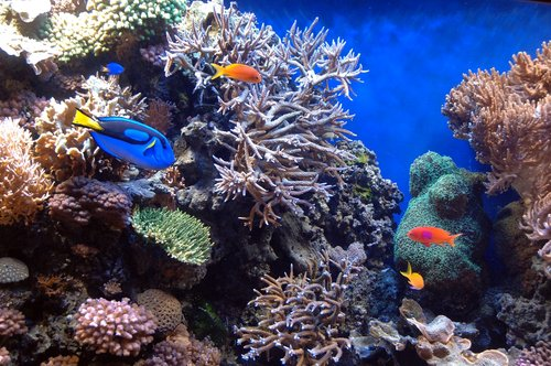 Blue Tang Fish - Paracanthurus hepatus - Monterey CA 11-28-09_175.jpg