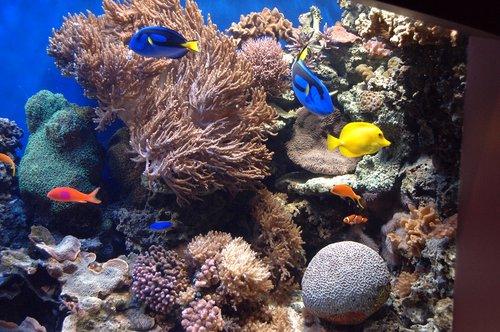 Blue Tang Fish - Paracanthurus hepatus - Monterey CA 11-28-09_187.jpg