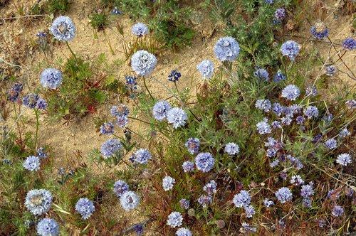 Bluehead Gilia - Gilia capitata staminea - Gorman CA 4-17-10_125.jpg