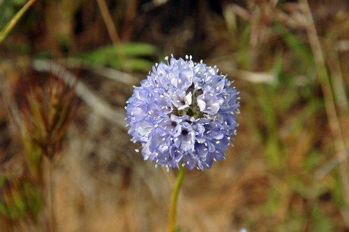 Bluehead Gilia - Gilia capitata staminea - Gorman CA 4-17-10_128.jpg