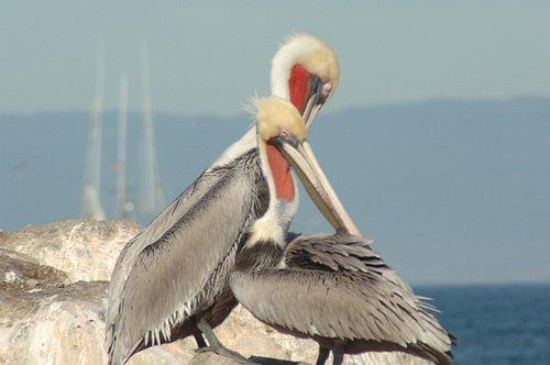Brown Pelican - Pelecanus occidentalis - Monterey Bay 12-30-06_009.jpg