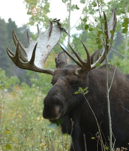 Bull Moose - Alces alces - Oxbow Bend Grand Teton NP 9-5-06.jpg