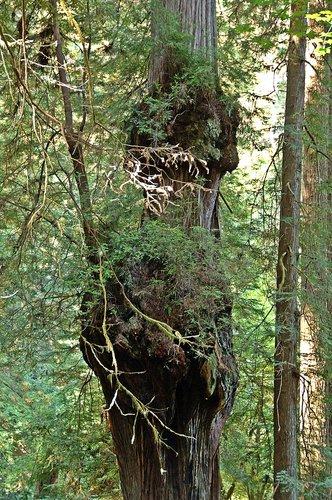 Burls high up on a Coast Redwood - Redwood NP CA 9-8-09_087.jpg