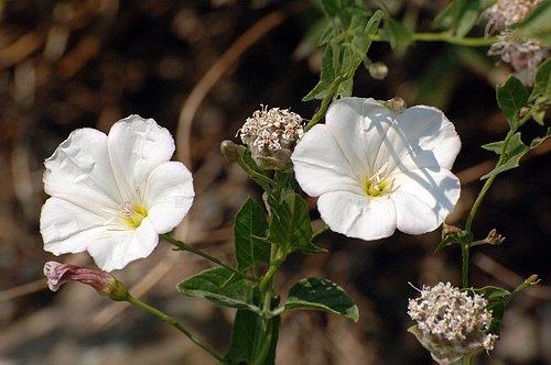Bush Morning Glory - Calystegia occidentalis - Arnold CA 8-1-09_054.jpg