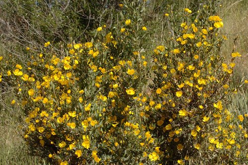 Bush Poppy - Dendromecon rigida - Gorman Ca 4-23-10_050.jpg