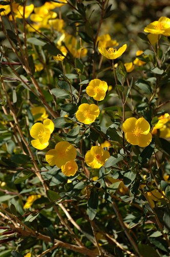 Bush Poppy - Dendromecon rigida - Redwood City CA 3-27-10_267.jpg